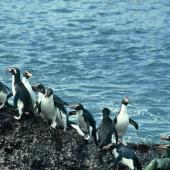 Snares crested penguin. Adults returning from the sea. North East Island, Snares Islands, January 1985. Image © Colin Miskelly by Colin Miskelly