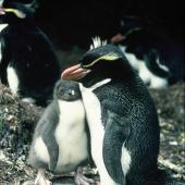 Snares crested penguin. Adult and chick. North East Island, Snares Islands, November 1987. Image © Colin Miskelly by Colin Miskelly