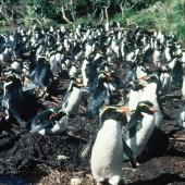 Snares crested penguin. Breeding colony at peak egg-laying. North East Island, Snares Islands, September 1985. Image © Colin Miskelly by Colin Miskelly
