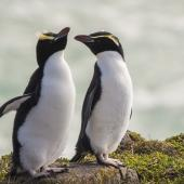 Snares crested penguin. Adult female (right) with adult female erect-crested penguin (left). Pipikaretu Beach, March 2020. Image © Oscar Thomas by Oscar Thomas @oscarkokako