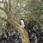 Snares crested penguin. Adult roosting on Olearia trunk. North East Island, Snares, October 2010. Image © Matt Charteris by Matt Charteris