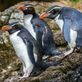 Snares crested penguin. Adults on landing rocks. Snares Islands, January 2018. Image © Mark Lethlean by Mark Lethlean