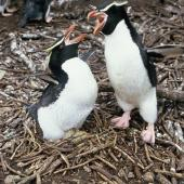 Snares crested penguin. Adult pair with 2 eggs. Snares Islands, November 1986. Image © Alan Tennyson by Alan Tennyson