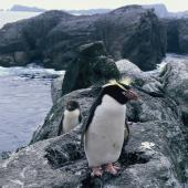 Snares crested penguin. Adult and downy chick. Toru Islet, Snares Western Chain, February 1986. Image © Alan Tennyson by Alan Tennyson