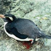 Snares crested penguin. Adult with amputated foot. Station Cove, The Snares, December 1985. Image © Alan Tennyson by Alan Tennyson