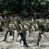 Snares crested penguin. Colony with large chicks. The Snares. Image © Alan Tennyson by Alan Tennyson