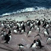 Snares crested penguin. Birds on landing rocks. Penguin Slope, The Snares, December 1985. Image © Alan Tennyson by Alan Tennyson