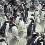 Snares crested penguin. Loafing birds. Station Cove, The Snares, December 1985. Image © Alan Tennyson by Alan Tennyson