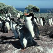 Snares crested penguin. Adult with fully grown chicks. Above Sinkhole Flat, The Snares, January 1986. Image © Alan Tennyson by Alan Tennyson Alan Tennyson