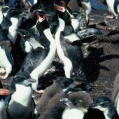 Snares crested penguin. Adults braying at colony. Sinkhole Flat, The Snares, January 1986. Image © Alan Tennyson by Alan Tennyson