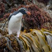 Snares crested penguin. Adult on a kelp-fringed rock ledge. Snares Islands, January 2016. Image © Tony Whitehead by Tony Whitehead Photo by Tony Whitehead www.wildlight.co.nz
