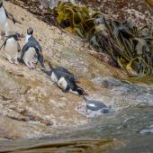 Snares crested penguin. Group entering the sea. Penguin Slope, Snares Islands, January 2016. Image © Tony Whitehead by Tony Whitehead www.wildlight.co.nz