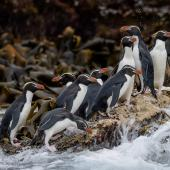 Snares crested penguin. Group on a wave washed rock. Snares Islands, January 2016. Image © Tony Whitehead by Tony Whitehead Photo by Tony Whitehead www.wildlight.co.nz
