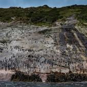 Snares crested penguin. Adults at landing on penguin slope. Snares Islands, December 2014. Image © Douglas Gimesy by Douglas Gimesy www.gimesy.com