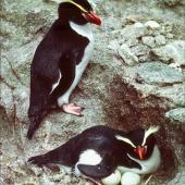 Snares crested penguin. Pair with hatching eggs (6 weeks later than main islands). Toru Islet, Western Chain, Snares Islands, December 1984. Image © Colin Miskelly by Colin Miskelly