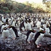 Snares crested penguin. Adults moulting on breeding colony. North East Island, Snares Islands, April 2005. Image © Colin Miskelly by Colin Miskelly