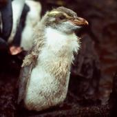 Snares crested penguin. Pale 'isabelline' chick close to fledging. North East Island, Snares Islands, February 1983. Image © Colin Miskelly by Colin Miskelly