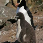 Erect-crested penguin. Adult with chick. Antipodes Island, December 2009. Image © David Boyle by David Boyle