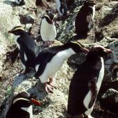 Erect-crested penguin. Four species of crested penguin. Station Cove, Snares Islands, February 1983. Image © Colin Miskelly by Colin Miskelly Erect-crested penguin lower right, Fiordland crested penguin facing left, eastern rockhopper penguin top right, three Snares crested penguins in row from lower left to top centre.
