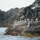 Erect-crested penguin. Adults at landing site. Bounty Islands, December 2005. Image © Department of Conservation ( image ref:10062309 ) by Sam O'Leary Department of Conservation  Courtesy of Department of Conservation