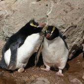 Erect-crested penguin. Pair at nest with egg (male on nest). Bounty Islands, October 2012. Image © Paul Sagar by Paul Sagar