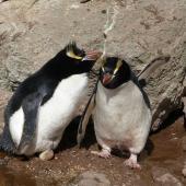 Erect-crested penguin. Pair at nest with egg (male on nest). Bounty Islands, October 2012. Image © Paul Sagar by Paul Sagar