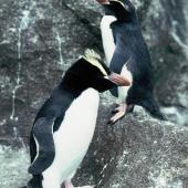 Erect-crested penguin. Adult standing (front) with Snares crested penguin . The Snares, December 1985. Image © Alan Tennyson by Alan Tennyson