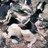 Erect-crested penguin. Adults with downy chick. Anchorage Bay, Antipodes Island, November 1995. Image © Alan Tennyson by Alan Tennyson