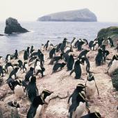 Erect-crested penguin. Colony. Anchorage Bay, Antipodes Island, November 1995. Image © Alan Tennyson by Alan Tennyson