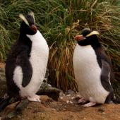 Erect-crested penguin. Pair of adults at a nest site. Antipodes Island, March 2009. Image © Mark Fraser by Mark Fraser