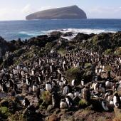 Erect-crested penguin. Colony with Bollons Island in background. Antipodes Island, March 2009. Image © Mark Fraser by Mark Fraser