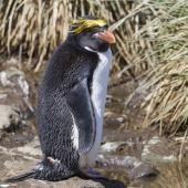 Macaroni penguin. Adult. Cooper Bay, South Georgia, November 2015. Image © John Barkla 2017 birdlifephotography.org.au by John Barkla