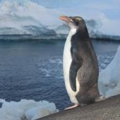 Macaroni penguin. Immature vagrant. near Mirny Station, Antarctica, February 2012. Image © Sergey Golubev by Sergey Golubev