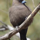 Dusky woodswallow. Adult. Yankee Hat, Namadgi National Park, ACT, Australia, November 2019. Image © R.M. by R.M.