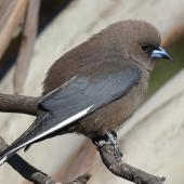 Dusky woodswallow. Adult. Yankee Hat, Namadgi National Park, ACT, Australia, October 2017. Image © R.M. by R.M.