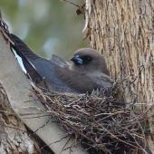Dusky woodswallow. Adult on nest. Googong Dam, NSW., November 2017. Image © R.M. by R.M.