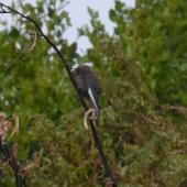Dusky woodswallow. Adult perched - first New Zealand record. Halfmoon Bay, Stewart Island, September 2014. Image © Satoshi Kakishima & Tomoe Morimoto by Satoshi Kakishima & Tomoe Morimoto