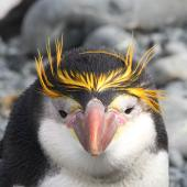 Royal penguin. Adult. Macquarie Island, December 2013. Image © John Fennell by John Fennell