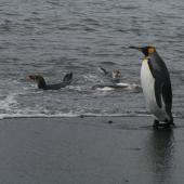 Royal penguin. Adults & immatures bathing (king penguin standing). Macquarie Island, November 2011. Image © Detlef Davies by Detlef Davies