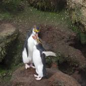 Royal penguin. Preening adults. , November 2011. Image © Sonja Ross by Sonja Ross