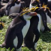 Royal penguin. Adult with adult macaroni penguin behind. Cap Cotter, Iles Kerguelen, December 2015. Image © Colin Miskelly by Colin Miskelly