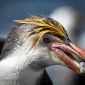 Royal penguin. Male with pebble in mouth. Macquarie Island, December 2014. Image © Douglas Gimesy by Douglas Gimesy www.gimesy.com