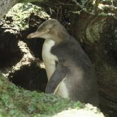 Yellow-eyed penguin. Immature. Enderby Island, Auckland Islands, February 1988. Image © Department of Conservation ( image ref: 10067351 ) by Jeff Flavell Department of Conservation  Courtesy of Department of Conservation