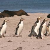 Yellow-eyed penguin. Adults arriving on beach. Sandy Bay, Enderby Island, Auckland Islands, December 2005. Image © Department of Conservation ( image ref: 10060039 ) by Andrew Maloney  Courtesy of Department of Conservation