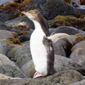 Yellow-eyed penguin. Juvenile bird showing plumage beneath flipper and colour of bill. Enderby Island, Auckland Islands, January 2007. Image © Ian Armitage by Ian Armitage