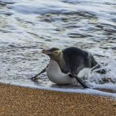 Yellow-eyed penguin. Adult, surfing in to land on the beach. Katiki Point Otago, June 2016. Image © Kathy Reid by Kathy Reid