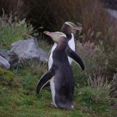 Yellow-eyed penguin. Adult pair showing dorsal surface of wing 'flippers'. Ruapuke Island, Foveaux Strait, December 2012. Image © Colin Miskelly by Colin Miskelly