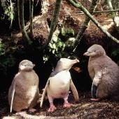Yellow-eyed penguin. Adult with large chicks. North-West Bay, Campbell Island, January 1993. Image © Alan Tennyson by Alan Tennyson