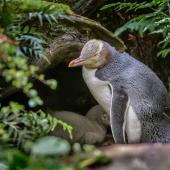 Yellow-eyed penguin. Adult at nest with chick. Enderby Island, Auckland Islands, January 2016. Image © Tony Whitehead by Tony Whitehead www.wildlight.co.nz