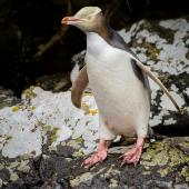 Yellow-eyed penguin. Adult about to enter water. Perseverance Harbour, Campbell Island, January 2016. Image © Tony Whitehead by Tony Whitehead www.wildlight.co.nz
